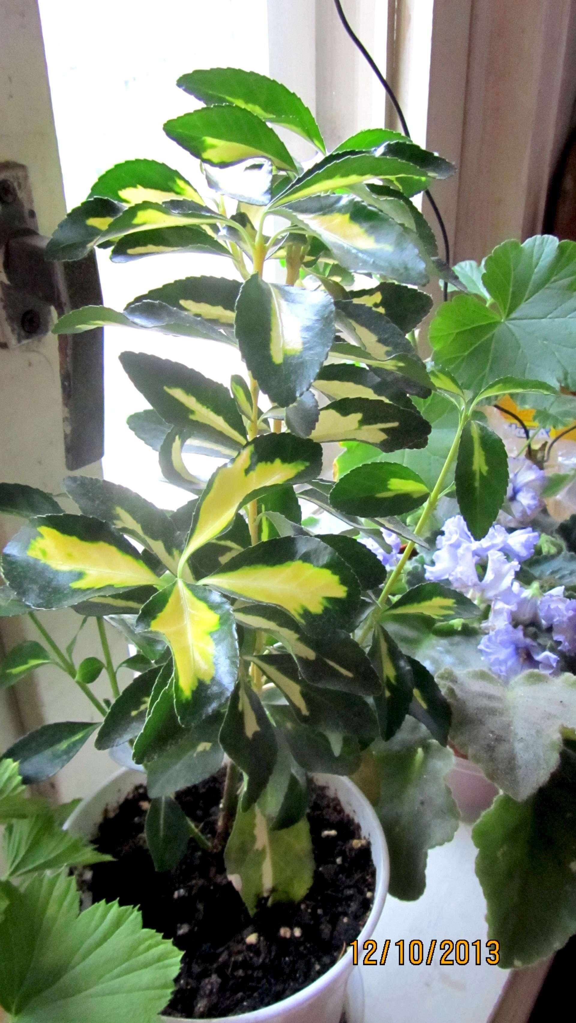 Цветок вереск в домашних условиях 22