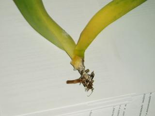 Как сделать корни для орхидеи