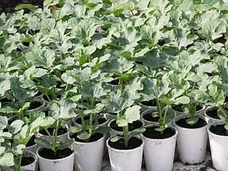 800 X 600 119.7 KbПринимаю заказы на выращивание рассады!