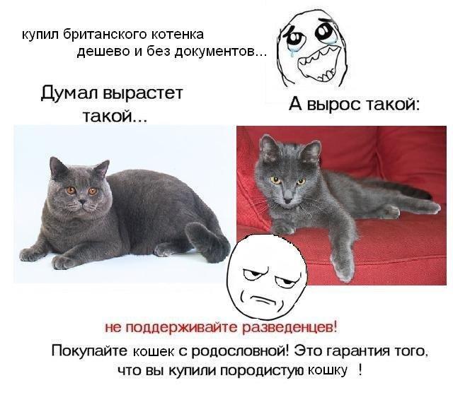 можно ли скрещивать кошек брата и сестру британцев Favorites Add Compare