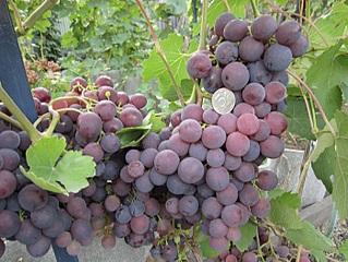 700 X 525 161.6 Kb 600 X 800 216.6 Kb 700 X 525 188.2 Kb Саженцы винограда. Продам.
