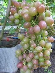 700 X 933 233.5 Kb 700 X 525 192.0 Kb 700 X 933 290.4 Kb Саженцы винограда. Продам.