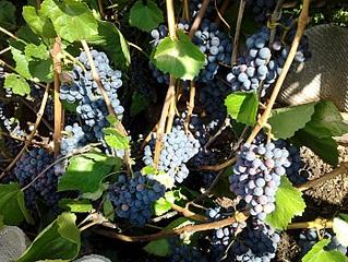 700 X 525 282.5 Kb 700 X 933 233.5 Kb 700 X 525 192.0 Kb 700 X 933 290.4 Kb Саженцы винограда. Продам.
