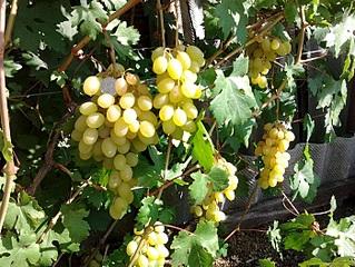700 X 525 209.7 Kb 700 X 525 282.5 Kb 700 X 933 233.5 Kb 700 X 525 192.0 Kb 700 X 933 290.4 Kb Саженцы винограда. Продам.