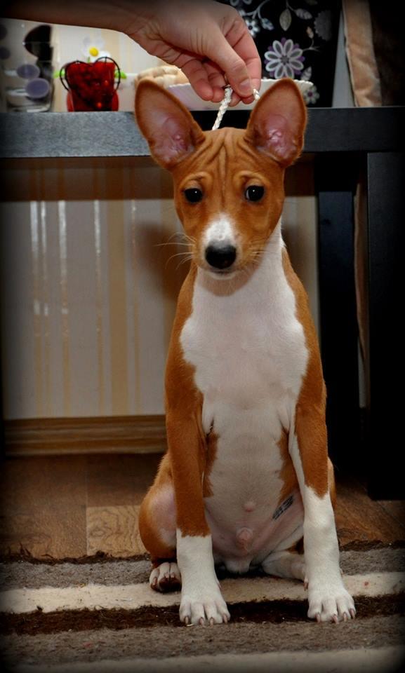 Гладкошерстные собаки средних размеров для квартиры