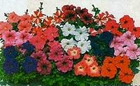 239 X 147 42.3 Kb продам в хорошие руки рассаду однолетних цветов