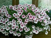 800 X 600 106.3 Kb 300 X 300 17.5 Kb 239 X 147 42.3 Kb продам в хорошие руки рассаду однолетних цветов