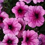 300 X 300 74.1 Kb 800 X 600 106.3 Kb 300 X 300 17.5 Kb 239 X 147 42.3 Kb продам в хорошие руки рассаду однолетних цветов