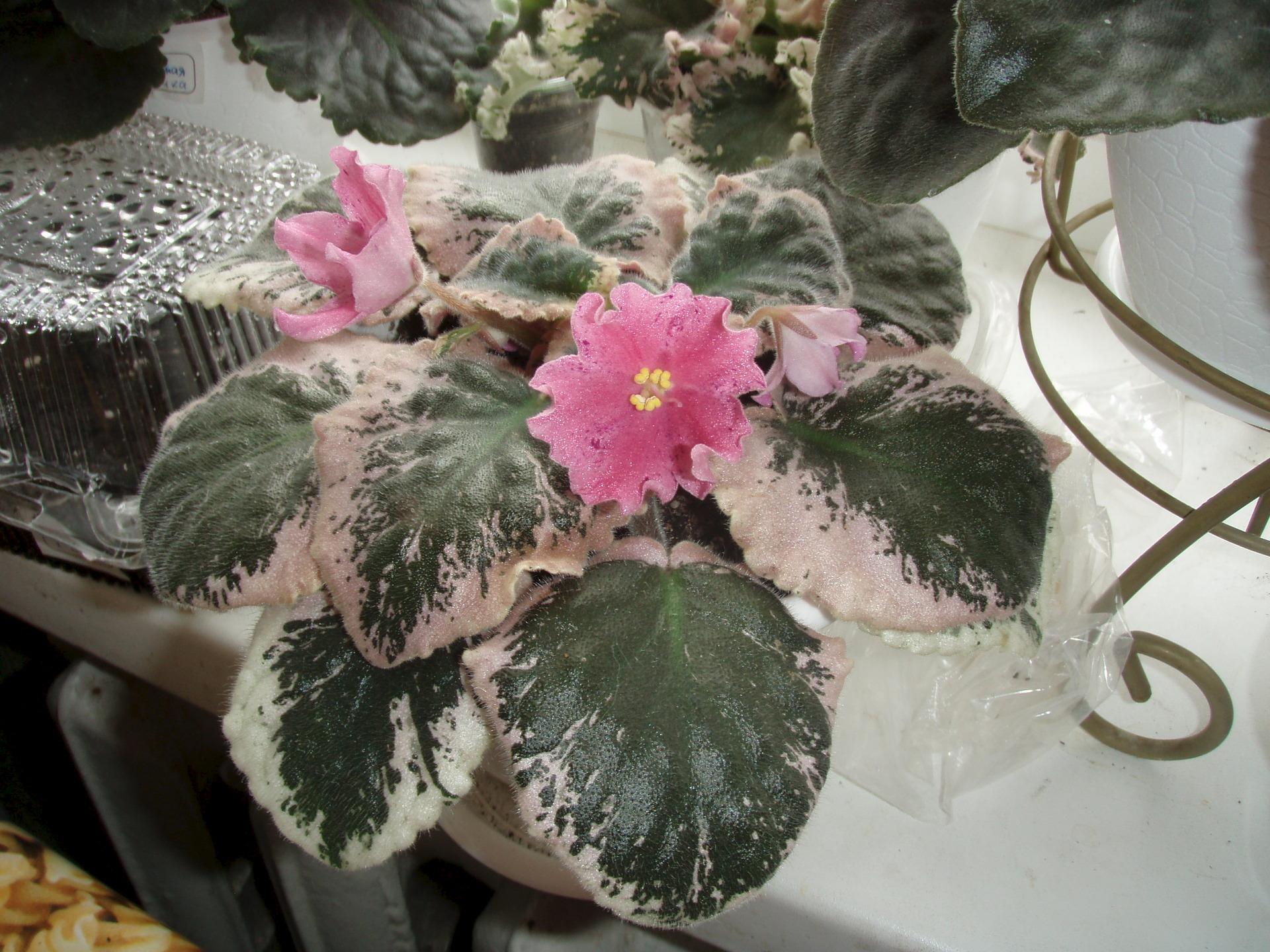 Болезни фиалок с фотографиями, их лечение, почему не цветут в 33