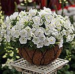 166 X 164 13.5 Kb продам в хорошие руки рассаду однолетних цветов
