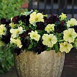 300 X 300 20.4 Kb 225 X 225 14.0 Kb 225 X 225 11.4 Kb 166 X 164 13.5 Kb продам в хорошие руки рассаду однолетних цветов