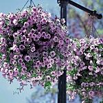 300 X 300 115.5 Kb продам в хорошие руки рассаду однолетних цветов