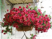 200 x 150 продам рассаду однолетних цветов ПРИВОЗ 9 АПРЕЛЯ