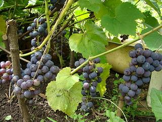 1920 X 1440 968.7 Kb Продам саженцы винограда
