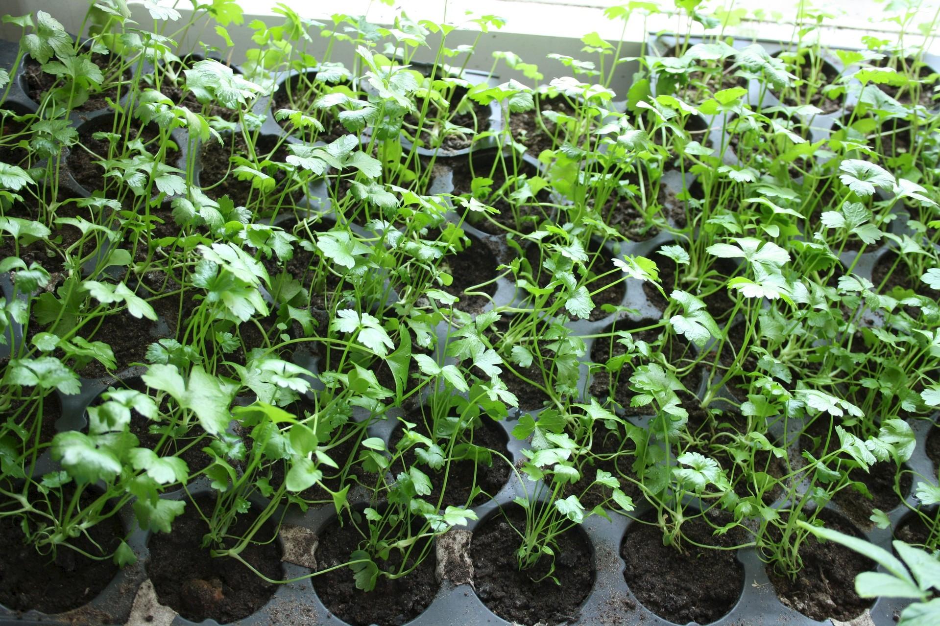 Как вырастить корневой сельдерей в домашних условиях