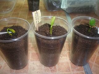 Кассия яванская феникс выращивание из семян 10