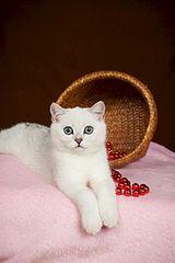 936 X 1404 109.5 Kb 1275 X 936 228.8 Kb Британские котята шиншиллы ищут новый дом