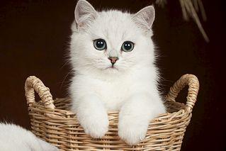 1118 X 745  85.7 Kb 936 X 1404 109.5 Kb 1275 X 936 228.8 Kb Британские котята шиншиллы ищут новый дом