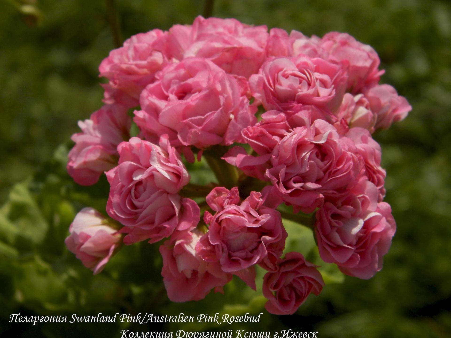 Австралиан пинк розебуд особенности выращивания 54