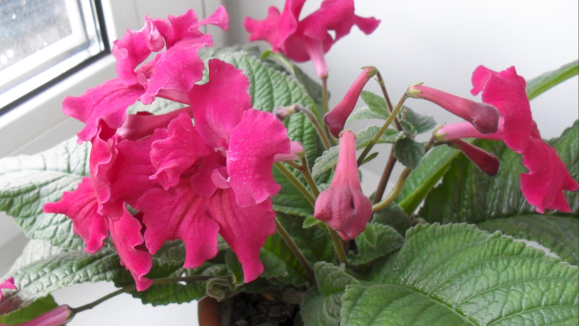 Комнатный цветок стрептокарпус: фото сортов с описанием, размножение и 31