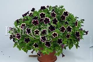 970 X 645 144.5 Kb цветы для вашего сада, кафе, придомовой территории