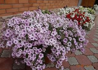 1024 X 731 375.5 Kb цветы для вашего сада, кафе, придомовой территории