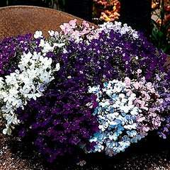300 X 300 47.4 Kb 300 X 300 27.5 Kb цветы для вашего сада, кафе, придомовой территории