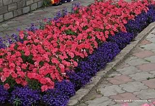 753 X 518 153.6 Kb 895 X 595 194.5 Kb 505 X 200 33.6 Kb цветы для вашего сада, кафе, придомовой территории
