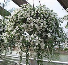 220 x 212 цветы для вашего сада, кафе, придомовой территории