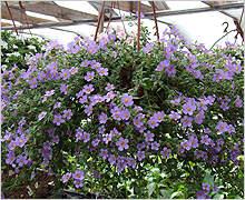 220 x 180 220 x 212 цветы для вашего сада, кафе, придомовой территории