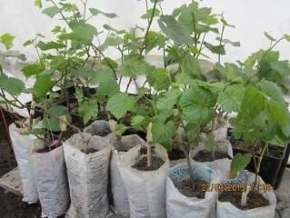 319 x 240 240 X 319  64.4 Kb Саженцы винограда. Продам.