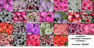 1024 X 527 135.5 Kb Продам рассаду сортовых петуний и других однолеток из профессиональных семян.