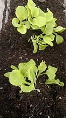 1920 X 3416 665.8 Kb 1920 X 3416 934.0 Kb 1920 X 3416 691.8 Kb Продам рассаду сортовых петуний и других однолеток из профессиональных семян.