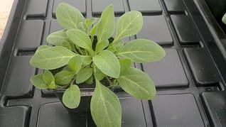 1920 X 1079 255.3 Kb Продам рассаду сортовых петуний и других однолеток из профессиональных семян.