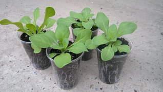 1920 X 1079 332.8 Kb Продам рассаду сортовых петуний и других однолеток из профессиональных семян.