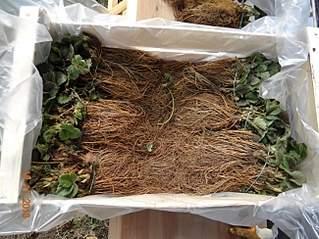 650 X 488 274.7 Kb Продам рассаду сортовых петуний и других однолеток из профессиональных семян.