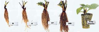 1024 X 338 130.0 Kb 650 X 488 274.7 Kb Продам рассаду сортовых петуний и других однолеток из профессиональных семян.