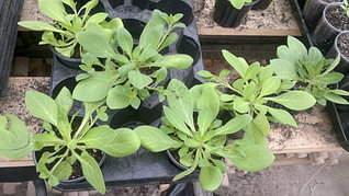 1920 X 1079 421.2 Kb Продам рассаду сортовых петуний и других однолеток из профессиональных семян.