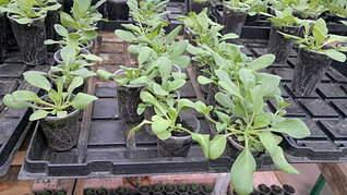 1920 X 1079 452.9 Kb 1920 X 1079 424.2 Kb 1920 X 1079 421.2 Kb Продам рассаду сортовых петуний и других однолеток из профессиональных семян.