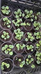 1920 X 3416 904.4 Kb Продам рассаду сортовых петуний и других однолеток из профессиональных семян.