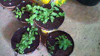 1872 X 1056 289.8 Kb Цветы для вашего сада, кафе, придомовой территории. КУПИМ многолетники
