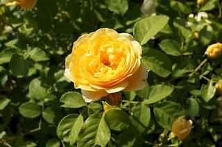 1024 X 682 218.3 Kb Саженцы английских роз (ЗКС), флоксов, дельфиниумов, стол.винограда и др.