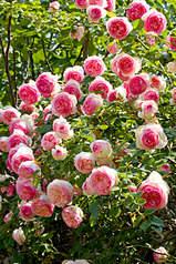 433 X 650 221.6 Kb 640 X 425 72.1 Kb Саженцы английских роз (ЗКС), флоксов, дельфиниумов, стол.винограда и др.