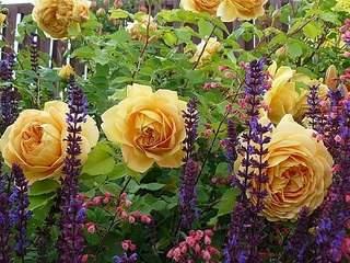 604 X 453 108.5 Kb 604 X 480 51.4 Kb 680 X 435 68.6 Kb 433 X 650 221.6 Kb 640 X 425 72.1 Kb Саженцы английских роз (ЗКС), флоксов, дельфиниумов, стол.винограда и др.