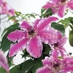 500 X 500 82.5 Kb Горшечные ЦВЕТЫ, Цветы для сада*Луковичные-ПОЛУЧАЕМ СРОЧНО