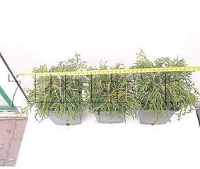 478 X 404 32.0 Kb Горшечные ЦВЕТЫ, Цветы для сада*Луковичные-ПОЛУЧАЕМ СРОЧНО
