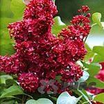 400 X 400 36.7 Kb Горшечные ЦВЕТЫ, Цветы для сада*Предзаказ ВЕСНА 2016-СБОР