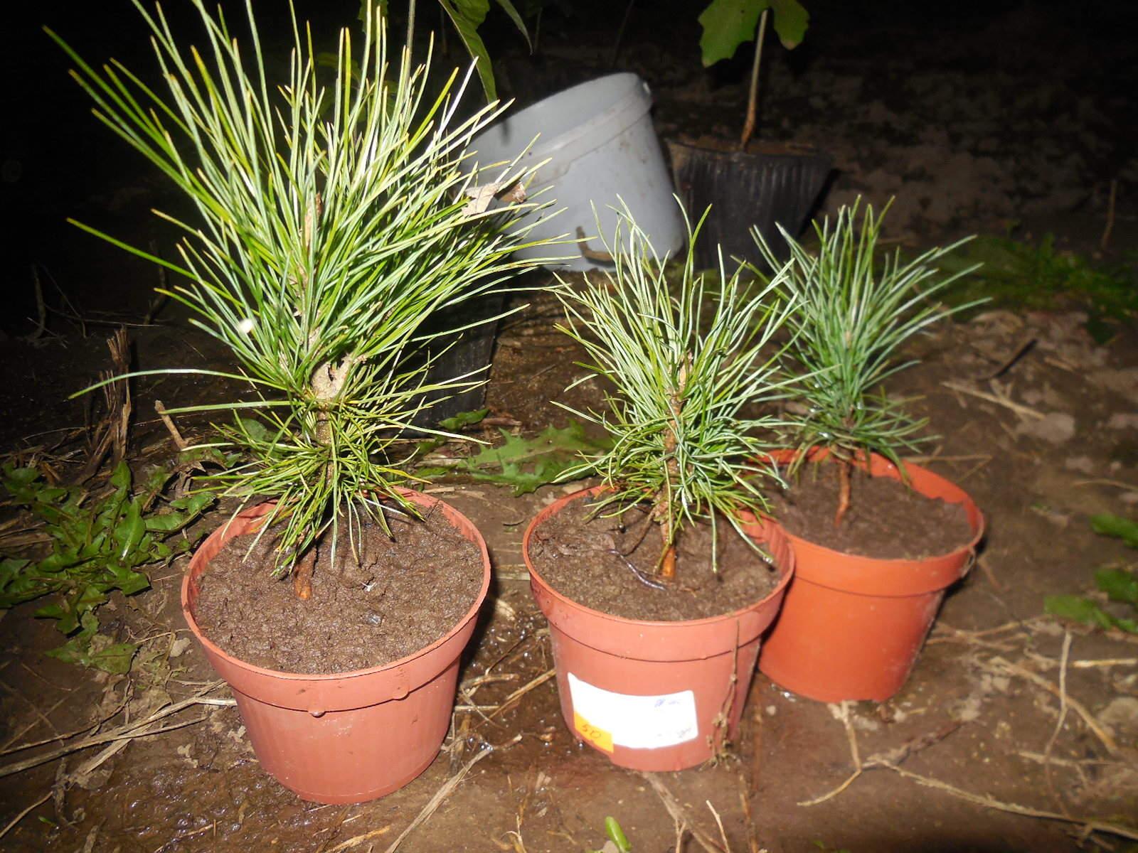 Как посадить кедр - Саженцы кедра 33