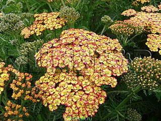 478 X 359 65.7 Kb Горшечные ЦВЕТЫ, Цветы для сада*Предзаказ ВЕСНА 2016-СБОР
