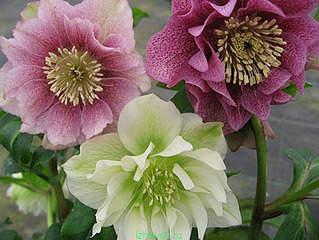 478 X 359 48.2 Kb Горшечные ЦВЕТЫ, Цветы для сада*Предзаказ ВЕСНА 2016-СБОР